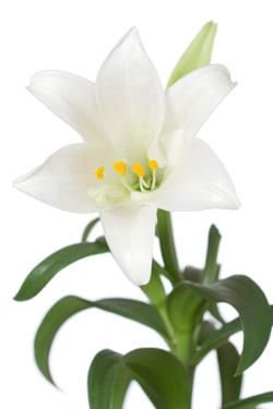 easter-lily-stock-small.jpg