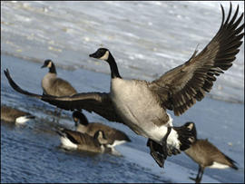 Canada Goose, geese