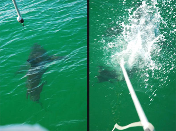 Tagging a Great White Shark