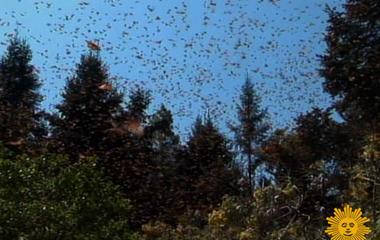 Will Monarch Butterflies Survive?