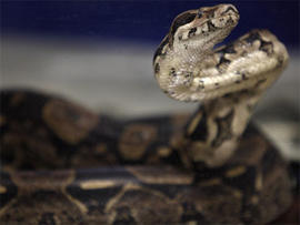 Calif. Teen Uses Snake as Weapon During Walgreen's Robbery