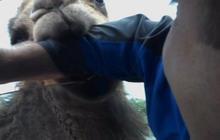 Camel Bites Steve Hartman
