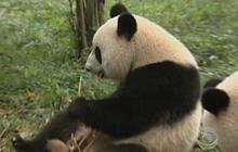 Panda Ambassador