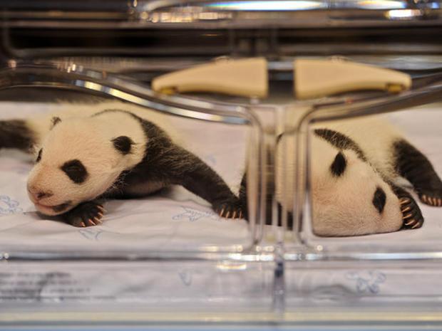 Baby Panda Twins Born in Madrid Zoo