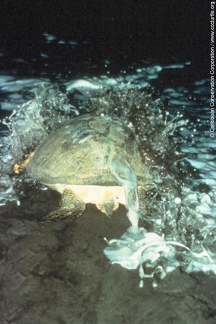 Sea Turtles of the Gulf of Mexico