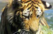 Asia's Tigers Under Siege