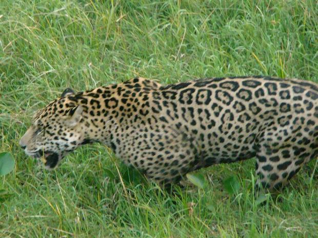 Jaguars: A Trip To Brazil
