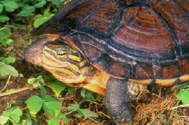 Turtles In Trouble Photo 7 Pictures Cbs News