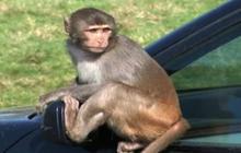 Monkey business destroys Mercedes