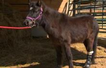 Mini-horse receives prosthetic leg