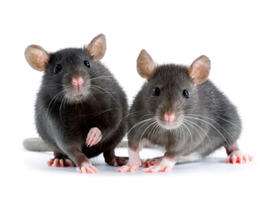 mice, mouse, aging, stem cell