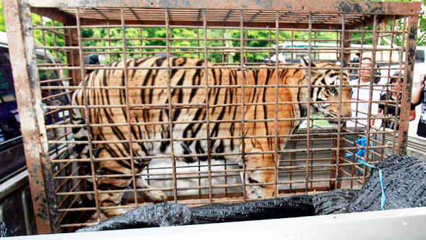 Thai police arrest suspected tiger trafficker