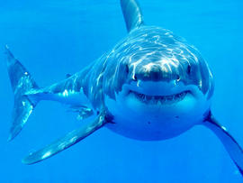 great white shark, shark, shark attack