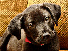 dog, black lab, stock, 4x3