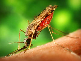 mosquito, insect, malaria, stock, 4x3
