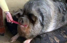 Boris the obese pig hates dieting