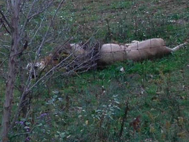 2011年10月18日,在俄亥俄州Zanesville附近的Terry Thompson的农场,一只死狮在篱笆上铺设。
