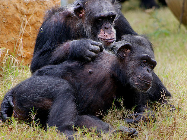 Chillaxin' chimps: 17 research apes enjoy their golden years
