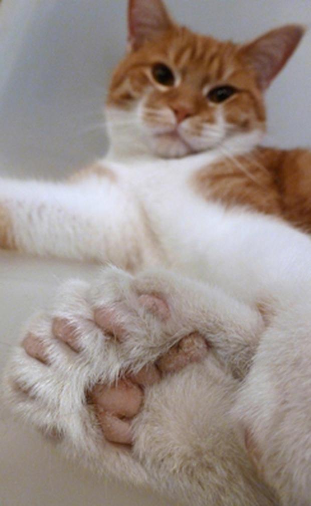 Daniel, the 26-toed cat
