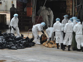Workers place dead chickens into plastic bags