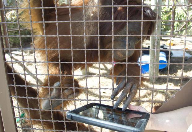 Orangutans at Miami zoo use iPads to communicate