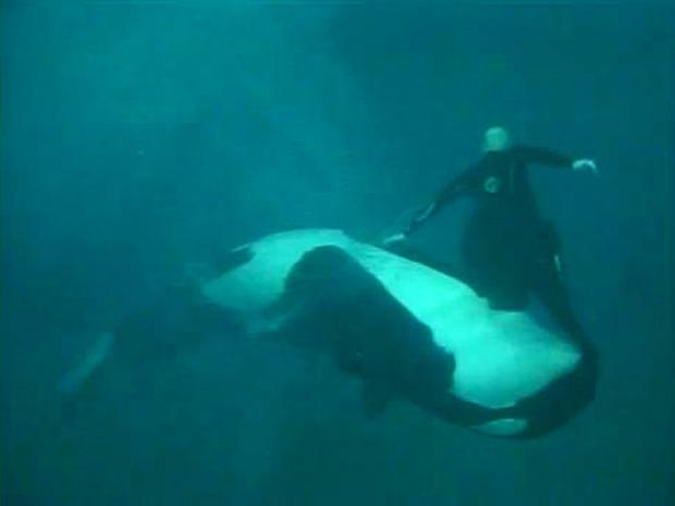 海洋世界圣地亚哥教练肯·彼得斯在2006年的一场秀中被女性逆戟鲸拖入水下。新发布的视频是与教练Dawn Brancheau 2010年溺水有关的公共记录请求的一部分。