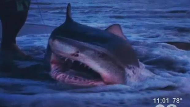 N j man catches 7 foot shark in kayak cbs news for Shark fishing nj
