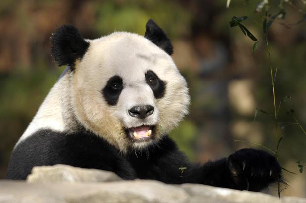 Panda gives birth at National Zoo
