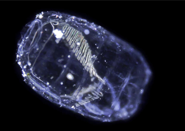 New species of plankton discovered