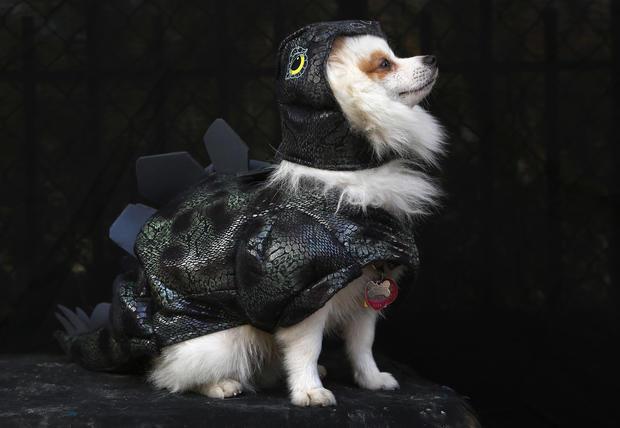 Halloween dog parade in New York
