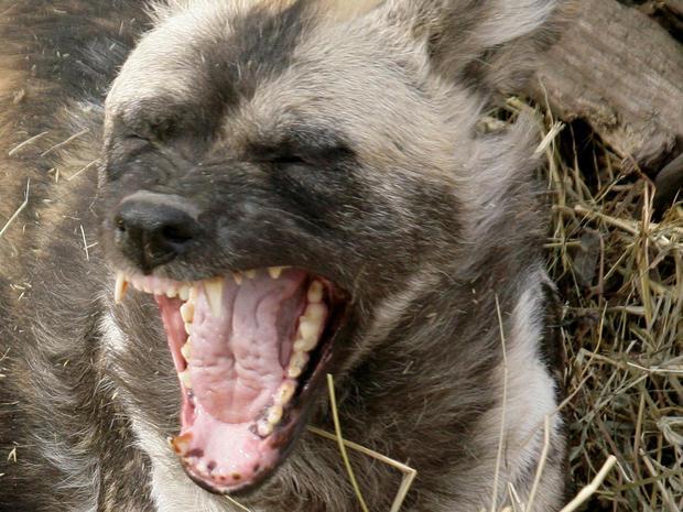 2009年3月12日星期四,一只非洲彩绘的狗在匹兹堡的匹兹堡动物园和水族馆打哈欠,因为他躺在一堆干草中。