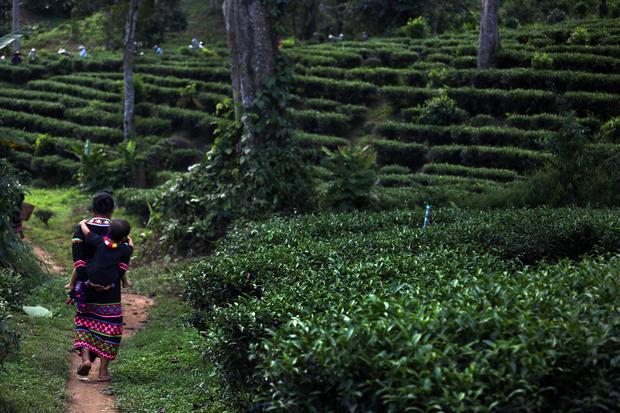 Harvesting tea in Thailand