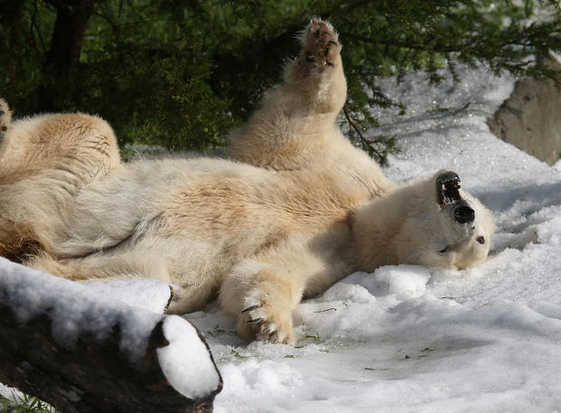 Polar bears celebrate birthday at zoo