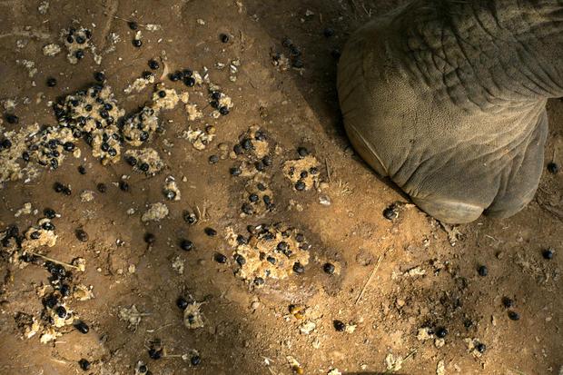 Pricey elephant poop coffee