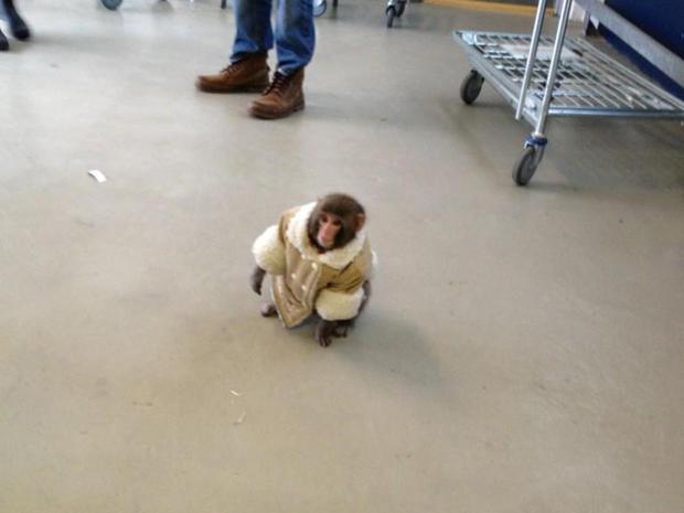 Monkey in IKEA photos go viral