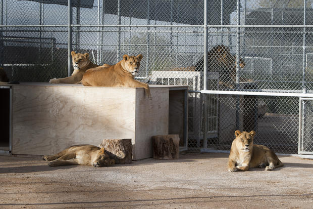 Lion habitat features big cats from Vegas
