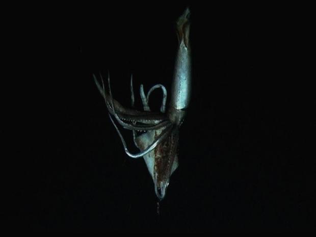 Giant squid still