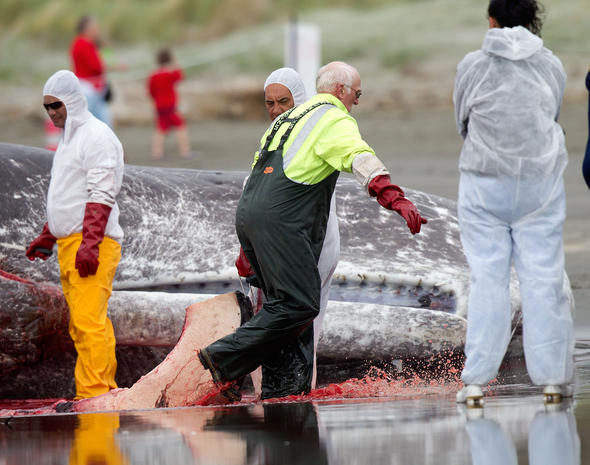 Dead sperm whale beached in New Zealand