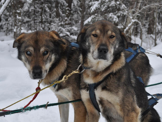 Blind sled dog aided by brother