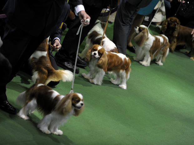 Westminster Dog Show: The big-money breeds