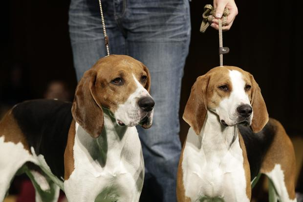 Westminster Best in Show 2013