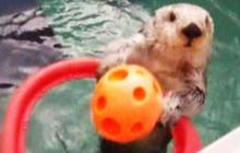 Sea otter shoots hoops for health