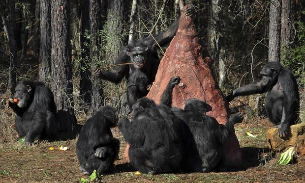 Retired federal research chimps head to rehab