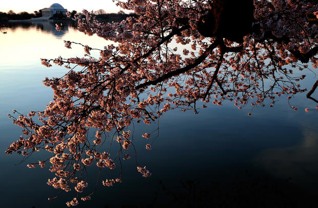 Cherry blossoms bloom in D.C.