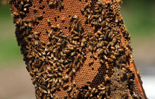 Bee populations in freefall