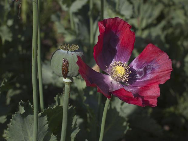 来自罂粟植物球茎的鸦片汁液于2011年5月31日在阿富汗巴达赫尚的Fayzabad出现。