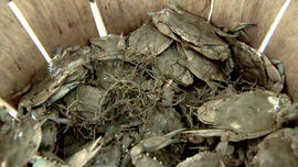 Blue crabs fished off Smith Island, Maryland.
