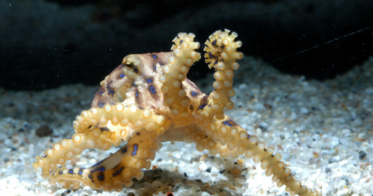 Tiny But Deadly Spike In Blue Ringed Octopus Sightings