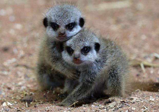 Meerkat triplets born in England
