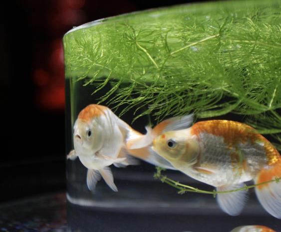 Japan's art aquariums